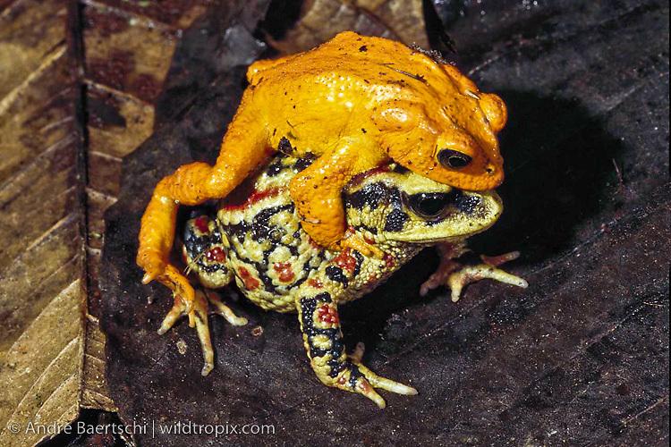 golden toad incilius periglenes extinct species male and female