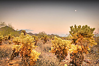 Cholla cactus patch with the moon - Arizona