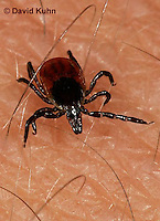 "1022-07xx  Deer Tick - Ixodes scapularis ""on human skin looking for a blood meal"" © David Kuhn/Dwight Kuhn Photography"