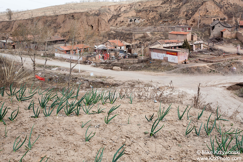 A crop of green onions growing on a hillside in an impoverished remote village in China