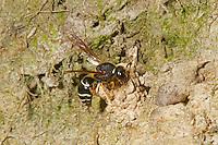 Fen Mason Wasp - Odynerus simillimus