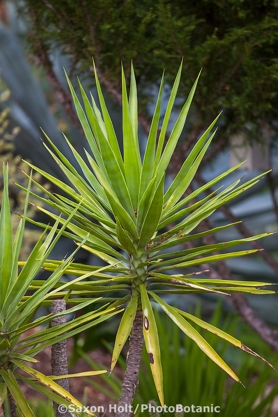 Yucca aloifolia, Aloe yucca or spanish dagger succulent in Debra Lee Baldwin garden