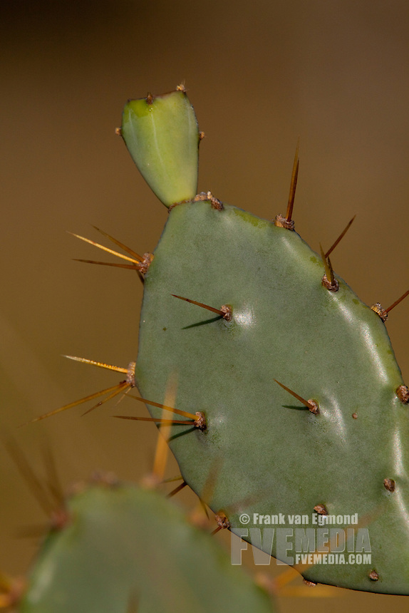 Cactus alien invader plant. Winter, May 2009..Hluhluwe-Imfolozi Game Reserve, Kwazulu Natal, South Africa.
