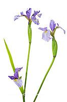 30099-00107 Blue Flag Iris (Iris versicolor) with white background, Marion Co., IL