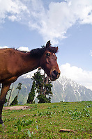 Horse grazing in mountain pasture, Western Himalayan Mountains, Kashmir, India..
