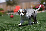12-week-old Bleu in Gardnerville, Nev., on Saturday, May 25, 2019. <br /> Photo by Cathleen Allison/Nevada Momentum