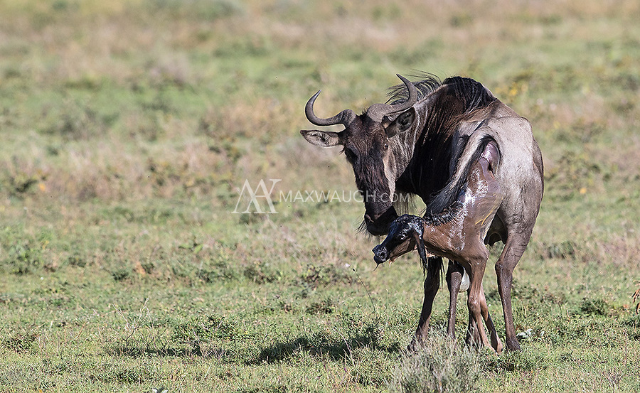 We were very fortunate to witness a wildebeest birth in Ndutu. We timed the process. From birth it took four minutes for the calf to stand, seven minutes to walk and fourteen minutes to nurse. A remarkable moment to witness.