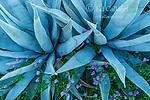 Agave, Blue Phacelia, Anza-Borrego Desert State Park, California