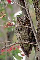 Flammulated Owl, Oregon