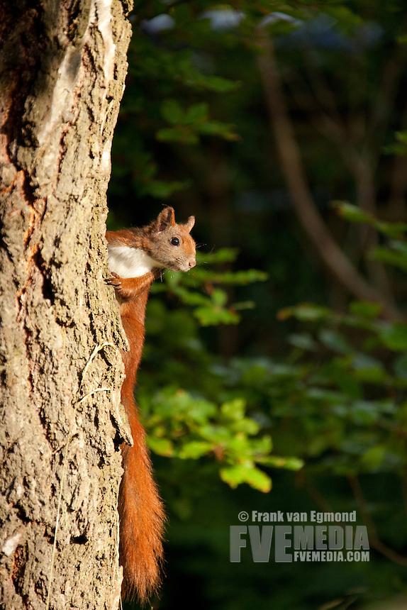 Curious Red Squirrel (Sciurus vulgaris).