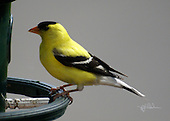 Male yellow Finch on green feeder ring with gray background.