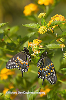 03009-01803 Black Swallowtail butterflies (Papilio polyxenes) male and female on New Gold Lantana (Lantana camara) Marion Co., IL