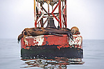 Sea Lions On Buoy