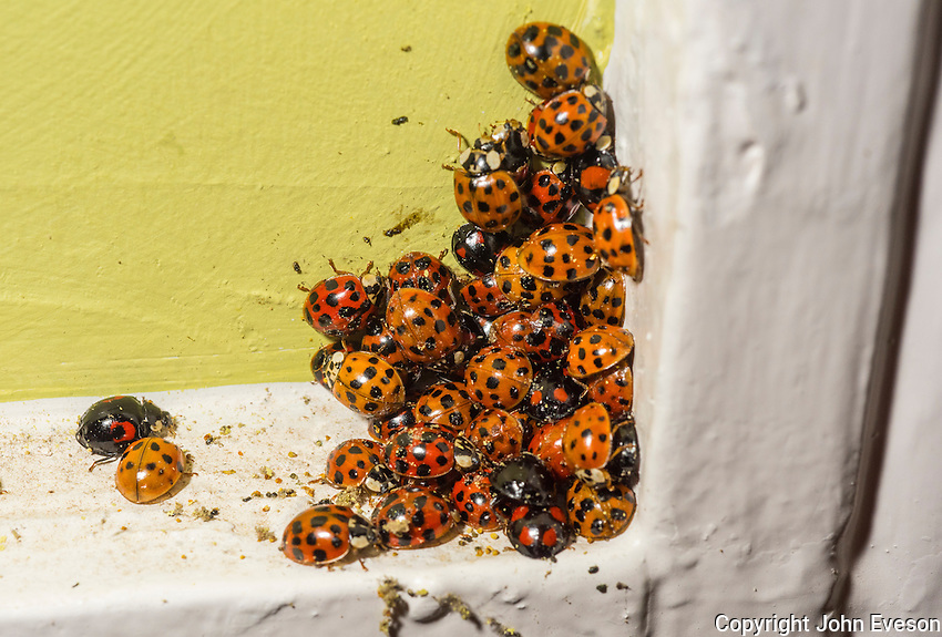 Harlequin Ladybirds gathered in a house, Chipping, Lancashire.