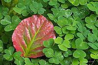 Fallen leaf in oxails