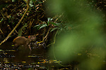 Central American Agouti (Dasyprocta punctata) in river, Pipeline Road, Gamboa, Panama