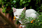Little white kitten posing behind flowers in Ravello Italy.