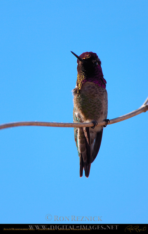 Anna's Hummingbird Male, Color Display, Sepulveda Wildlife Refuge, Southern California