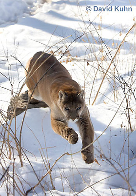 0218-1006  Mountain Lion (Cougar) in Snow Jumping and Chasing Prey, Puma concolor (syn. Felis concolor)  © David Kuhn/Dwight Kuhn Photography.