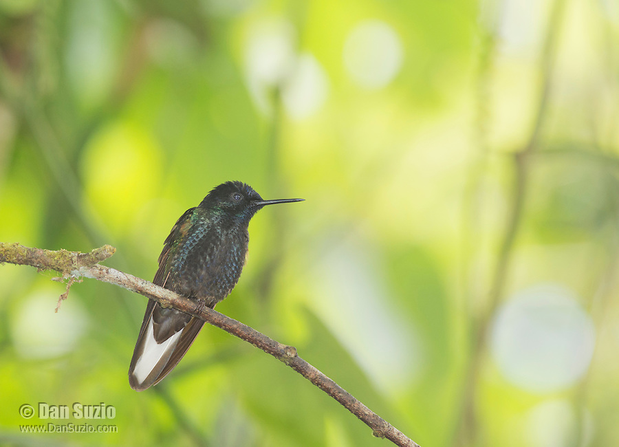 Velvet purple coronet, Boissonneaua jardini, perched on a branch at Refugio Paz de las Aves, Ecuador