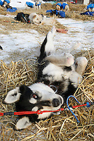 """ Sydney "" one of Robert Nelson Jrs. dogs scratches her back on the freshly layed straw shortly after their arrival at Shageluk checkpoint on Saturday morning    Iditarod 2009"