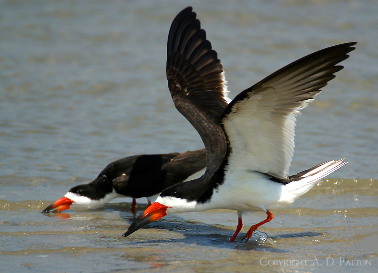 Two black skimmers landing in shallow water