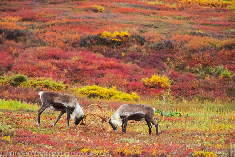 Bull Caribou sparring on the colorful autumn tundra, Denali National Park, Alaska