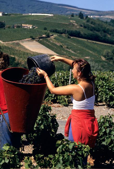 Beaujolais, Rhone (69), Chiroubles. Vendangeuse. *** Harvesting. Chiroubles, Rhone (69), Beaujolais.