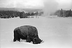 Bison feeding in snow near Old Faithful