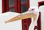 Pelican on the island of Mykonos, Greece