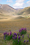 Lupins and Lindis Pass, New Zealand