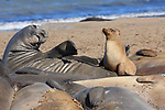 Molting northern elephant seals and California sea lion juvenile