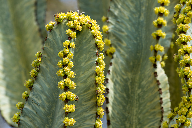 Close-up of a flowering Euphorbia candelabrum, a succulent species of plant in the Euphorbiaceae family, one of several plants commonly known as candelabra tree in the Lewa Wildlife Conservancy in Kenya.
