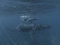 Humpbach whale with her calf,Lanai,Maui,Hawaii.