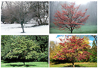Four seasons series of dogwood tree, Conus florida,  through woods past the fallen branch