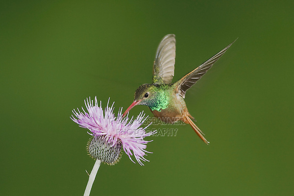Buff-bellied Hummingbird (Amazilia yucatanenensis), male feeding on thistle, Sinton, Corpus Christi, Coastal Bend, Texas, USA