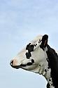 03/04/11 - ORLEAT - PUY DE DOME - FRANCE - Genisses Prim Holstein au paturage. Prim Holstein heifers to pasture - Photo Jerome CHABANNE