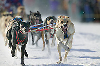 Sled dog team at the start of the oldest continuously run sled dog race in the world, the 2003 Open North American Sled dog championships which start on the Chena River in downtown Fairbanks, Alaska. The annual race consists of three daily races, the combined fastest time wins.