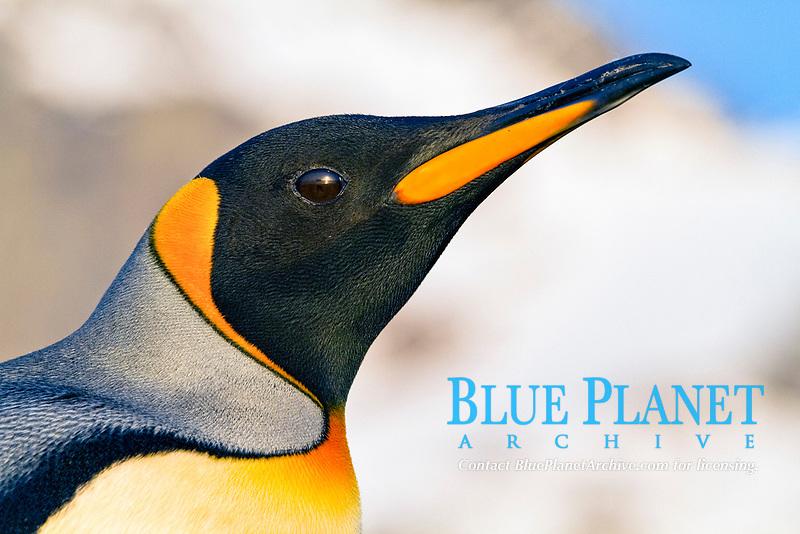 king penguin, Aptenodytes patagonicus, South Georgia, Atlantic Ocean