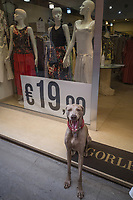 Italy. Liguria Region. San Remo. Town center. A Weimaraner dog is seated in front of the entrance of a fashion store. In the shop's window display, three women manikins wearing summer clothes. A large sign with a 19 euros prize. The Weimaraner is a large dog that was originally bred for hunting in the early 19th century. The Weimaraner is an all-purpose gun dog. Liguria is a region of north-western Italy. Sanremo or San Remo is a city and comune in the Province of Imperia. 23.07.2020 © 2020 Didier Ruef