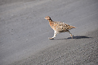 Ptarmigan along the Park road, Denali National Park, Alaska