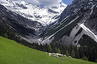 Sheep in the pasture against the background of mountains and forests. Hahntennjoch pass, Tyrol, Tirol, Austria.