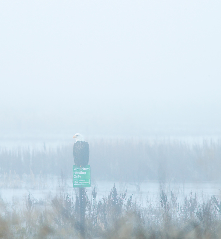 """Balds Eagel on pearch with sign """"Waterfowl Hunting Only"""". Lower Klamath Fall National Wildlife Refuge. California"""