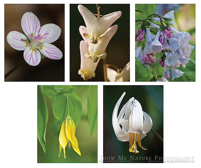 "Boxed set of 10 Woodland Wildflower note cards (folded, blank inside), 2 of each of the pictured images, and 10 blank, white envelopes. To purchase, click on image until a ""Buy Prints"" button appears above the image."