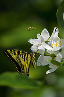 Western Tiger Swallowtail (Papilio rutulus) and bee nectaring on mock orange bush.  Pacific Northwest.