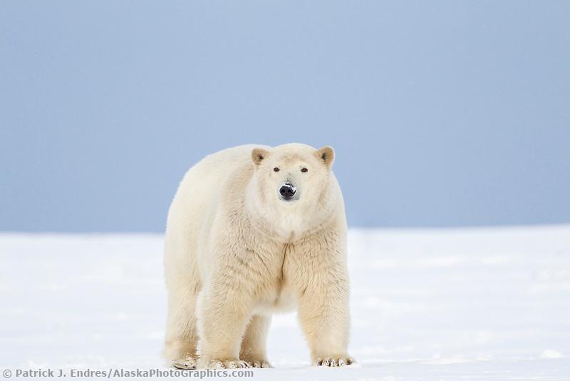 Female polar bear on the snow, Arctic National Wildlife Refuge, Alaska.