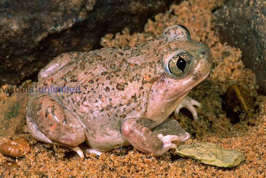 Plains Spadefoot Toad (Spea bombifrons).  This is a burrowing species of the Great Plains and Southwestern United States.  It is rarely seen except during heavy rain showers when it breeds.