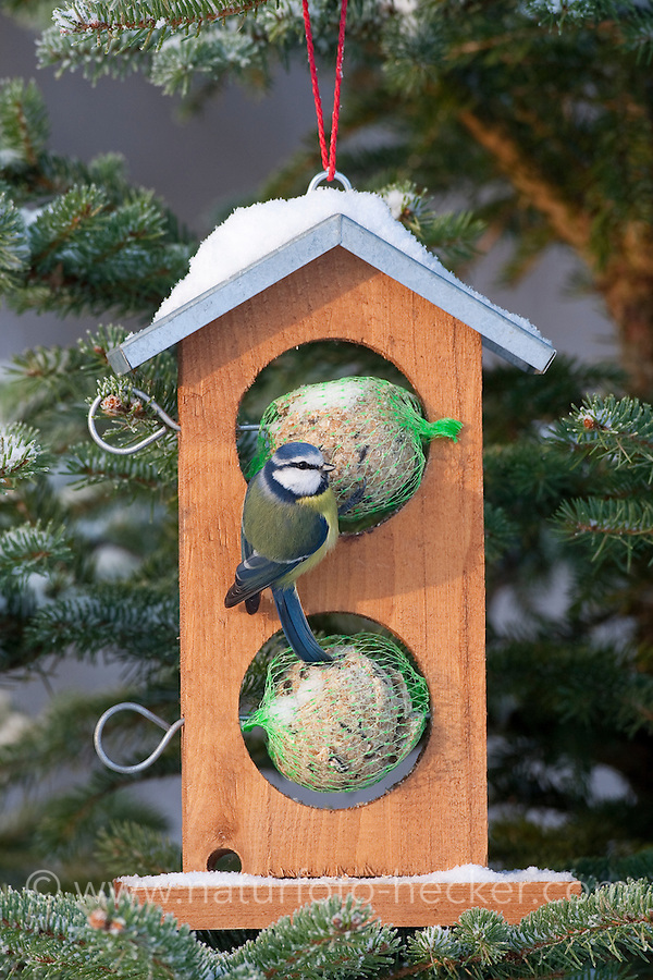 Blaumeise, an der Vogelfütterung, Fütterung im Winter bei Schnee, an Häuschen mit Meisenknödel, Fettfutter, Winterfütterung, Blau-Meise, Meise, Cyanistes caeruleus, Parus caeruleus, blue tit