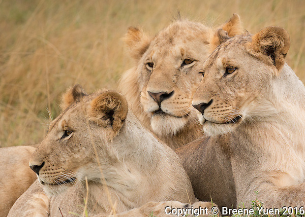 Lion Trio  Kenya 2015