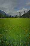 Green alpine meadow, Imst district, Tyrol/Tirol, Austria, Alps.